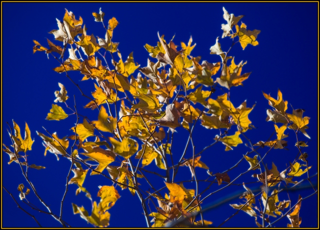 A deep blue sky sets off the bright golden oak leavs along the Black Canyon Rd.