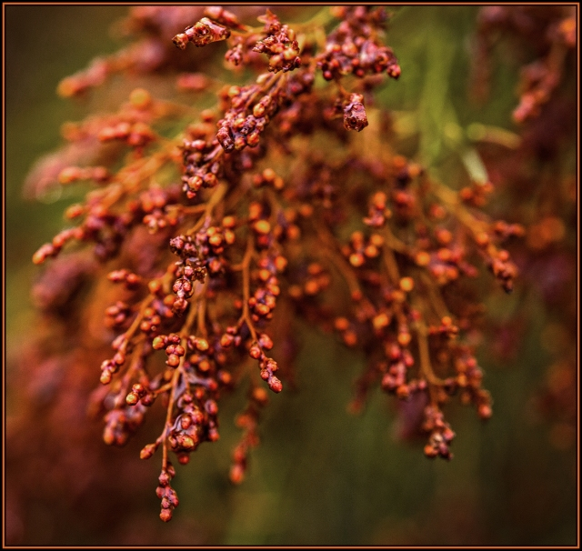 Winter seeds on the cedars near Mt. Laguna.  Canon 5D Mk II w/ 180mm f3.5 macro