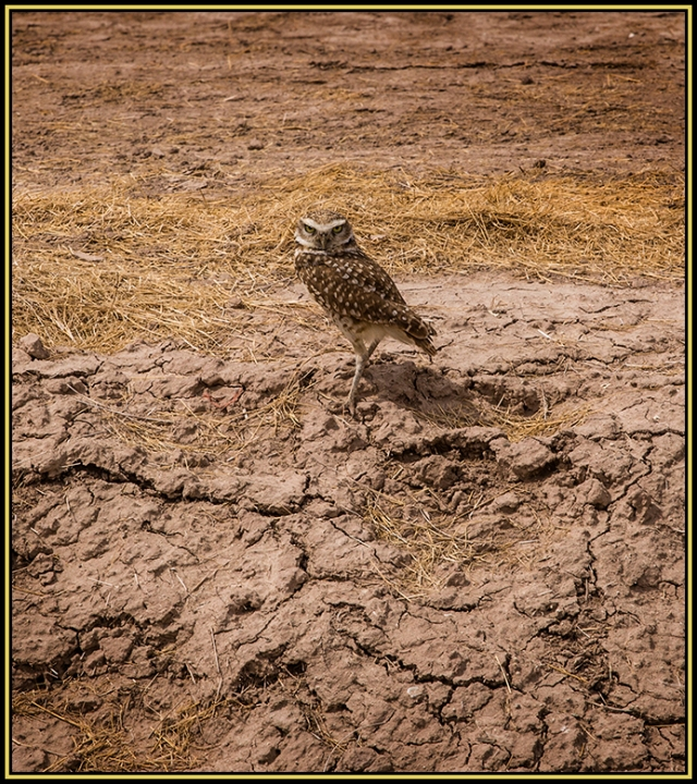A Burrowing Owl along a canal near the Salton Sea.