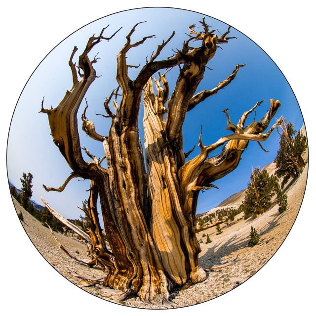 One of the wind whipped trees in the Patriarch Grove of Ancient Bristlecone Pines.