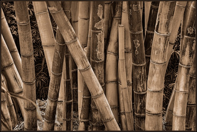 Bamboo stand.  Bamboo fascinates me since it can be used for so many things and some species grow so fast you can almost watch it happen.