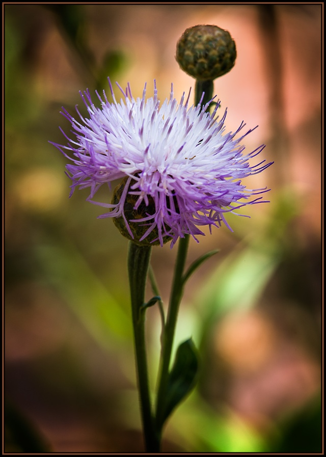 Here is the first shot I took; it was of a plant from the Canary Islands called a Centaurea.  Hmmm... doesn't look like a horse to me.  Canon 5D Mk II, Canon 70-200 f4L