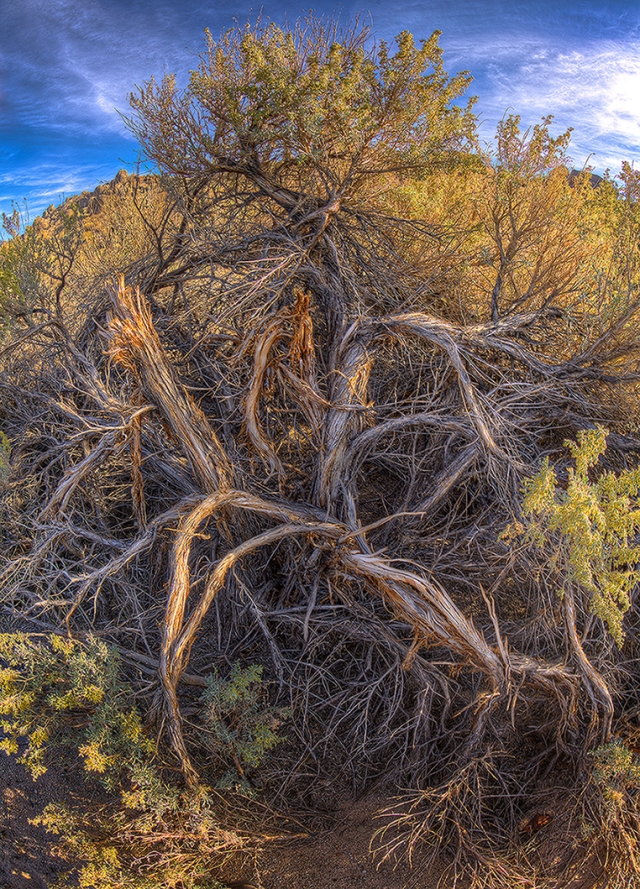 A wind and light-sculpted bush along Tuttle Creek road in the Alabama Hill near Lone Pine, CA.  Canon 5D MkII with Canon 8-15mm lens at 15mm.