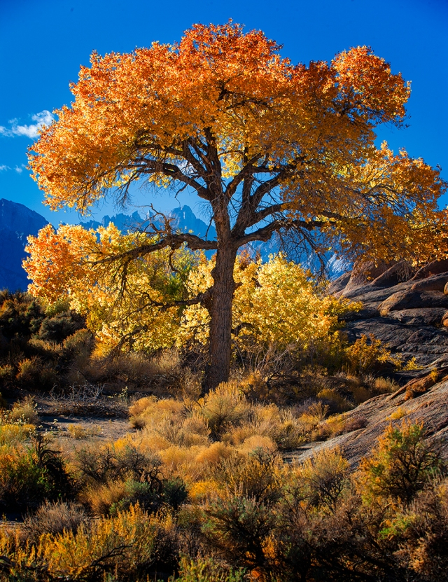 A brilliant golden tree and Mt. Whitney among the rocks of Alabama Hills.