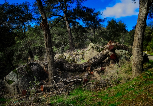 Site of gian live oak felled by storms in late 2014 along the Black Canyon Rd near Mesa Grande, CA.  Canon S120 P&S
