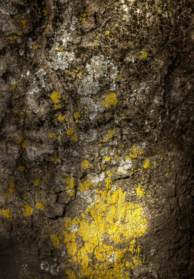 Lichen on Tree Trunk. Canon 5D MkII w/ 85mm f1.8 lens