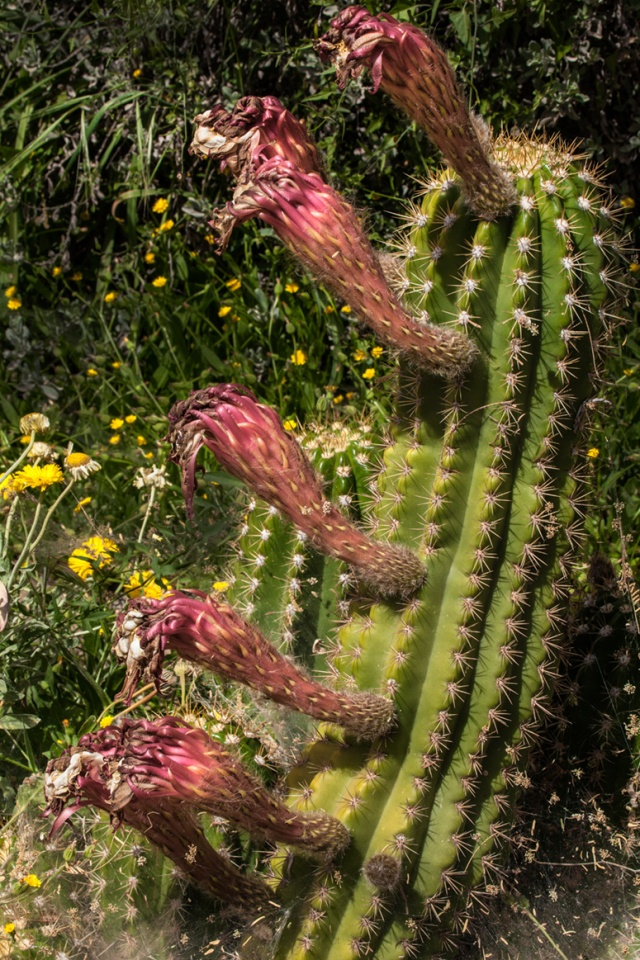 This cactus REALLY likes it here. Canon 5D Mk II, Sigmal 50-500mm f4