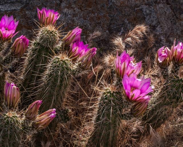 Cactus blossoms. Canon 5D Mk II, Sigmal 50-500mm f4