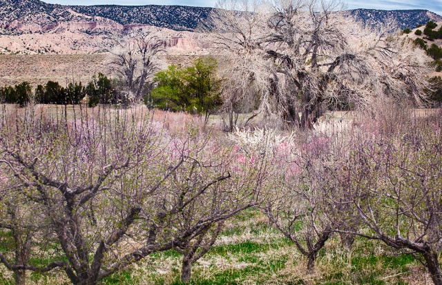 An apple orchard near the New Mexican mountain village of Chimayo showing off it new spring plummage.  Canon 5D MkII