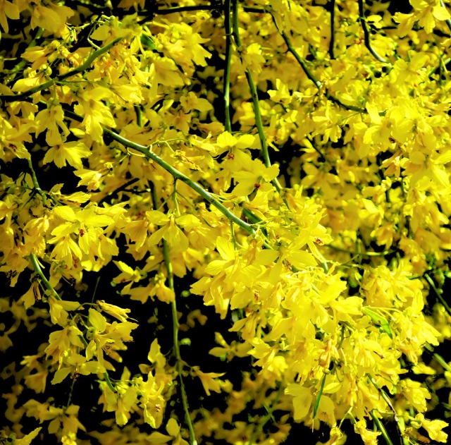 A closer look at the mesquite trees swimming on gold and yellow.  Canon s120