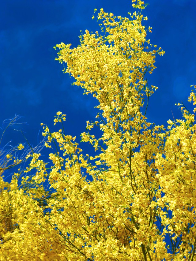 The brillian yellow-gold of the mesquite blossoms contrasts with the deep blue Arizona sky.  Canon S120