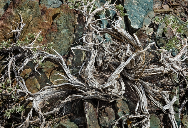Old root system in shale deposit; White Mountain Range, California near Bristlecone Pine Forest.