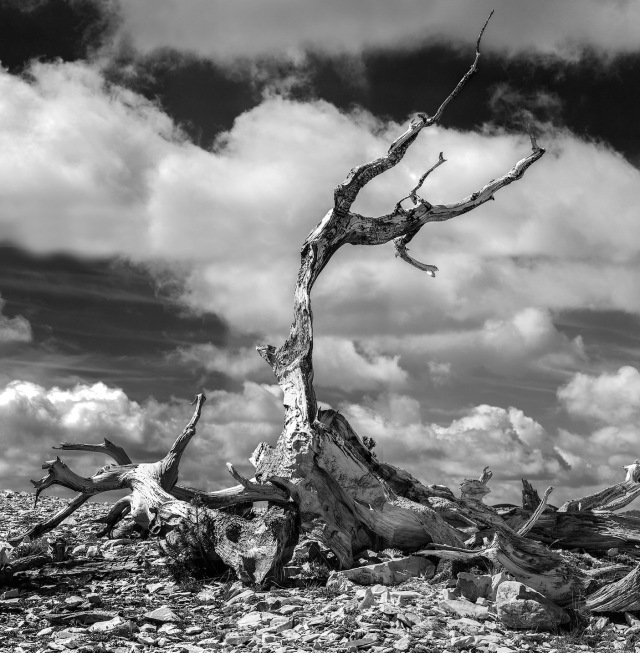 "Taken at the Patriarch's Grove, Ancient Bristlecone Pines Forest, White Mtns, CA.  B&W version of the ""Bones of the Patriarch""  shot several years earlier.  Rhinocam mosaic using Hasselblad-Zeiss 180mm f4"