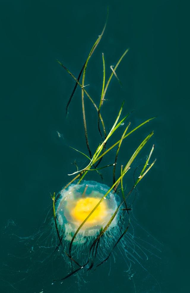 Egg Jellyfish in Morro Bay