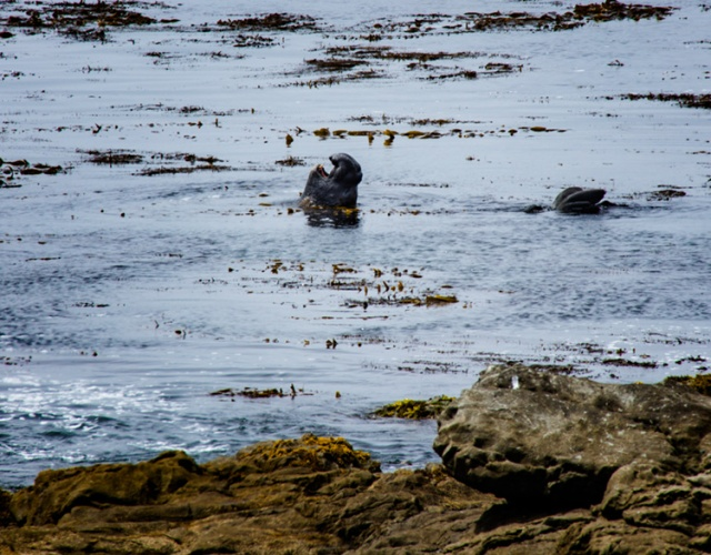 Elephant seal bellowing a territorial challenge