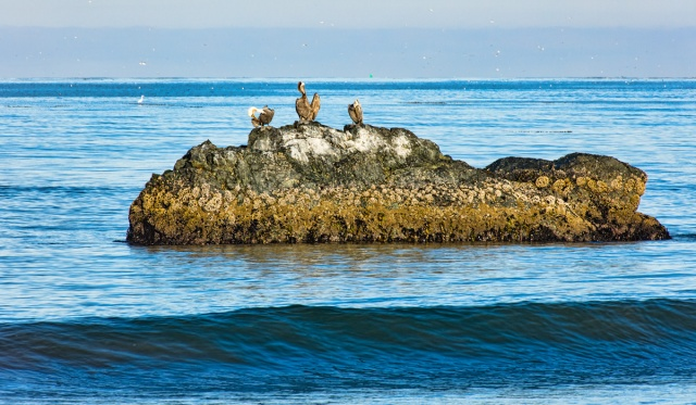3 pelicans on rock off the beach at Cayucos, CA