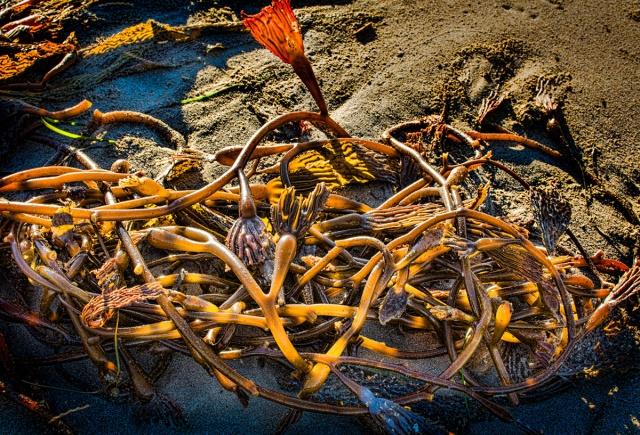 Kelp on beach at Cayucos