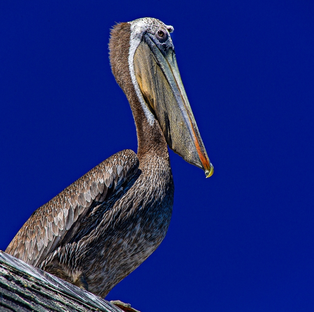 Great pelican on the roof of the restaurant.