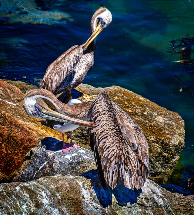 Two pelicans preening on the rocks at San Luis Bay.