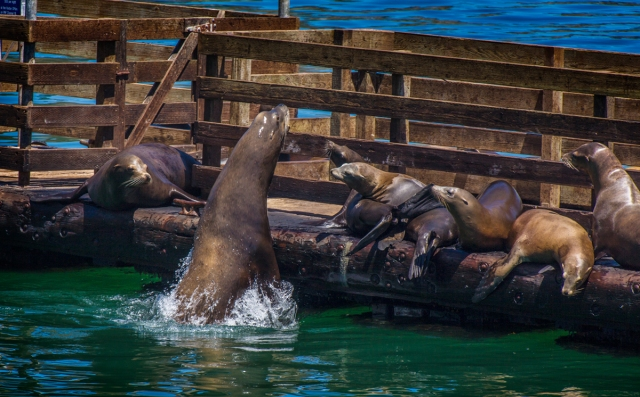 Big seal squeezes into the sunbathing line in San Luis Ba