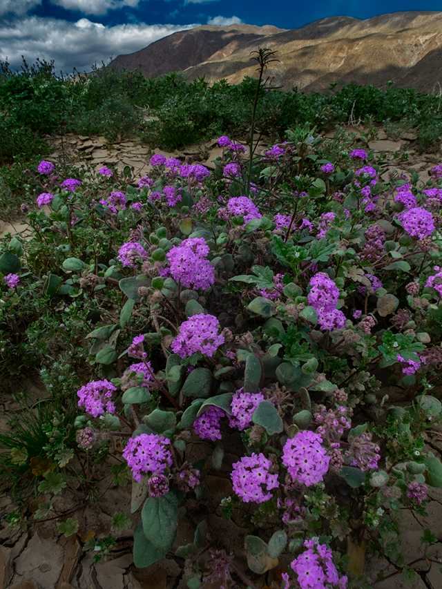 Borrego flowers -Mar 2019-verbena 01 for blog